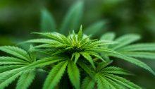 cannabis a uso medico nel tariffario nazionale